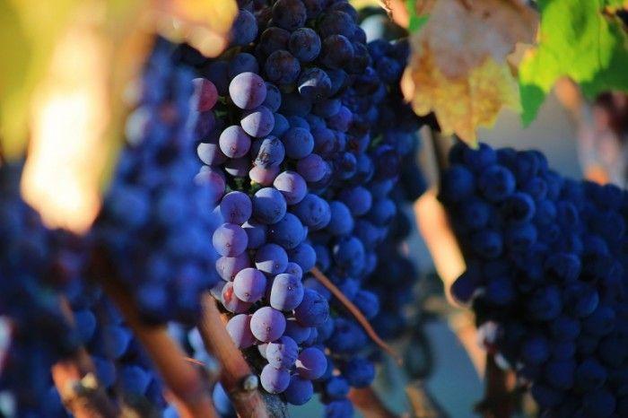 Калорийность винограда, его полезные свойства и противопоказания